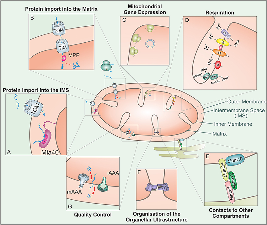 Frontiers Protein Translocation Into The Intermembrane