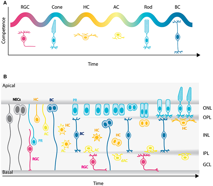 Adult Neurogenesis in Humans- Common and Unique Traits in Mammals