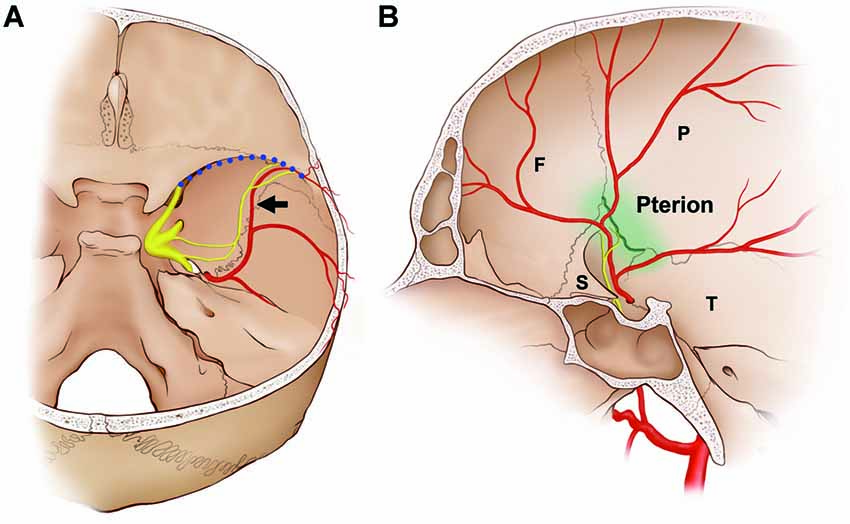 Frontiers Macroscopic Innervation Of The Dura Mater Covering The