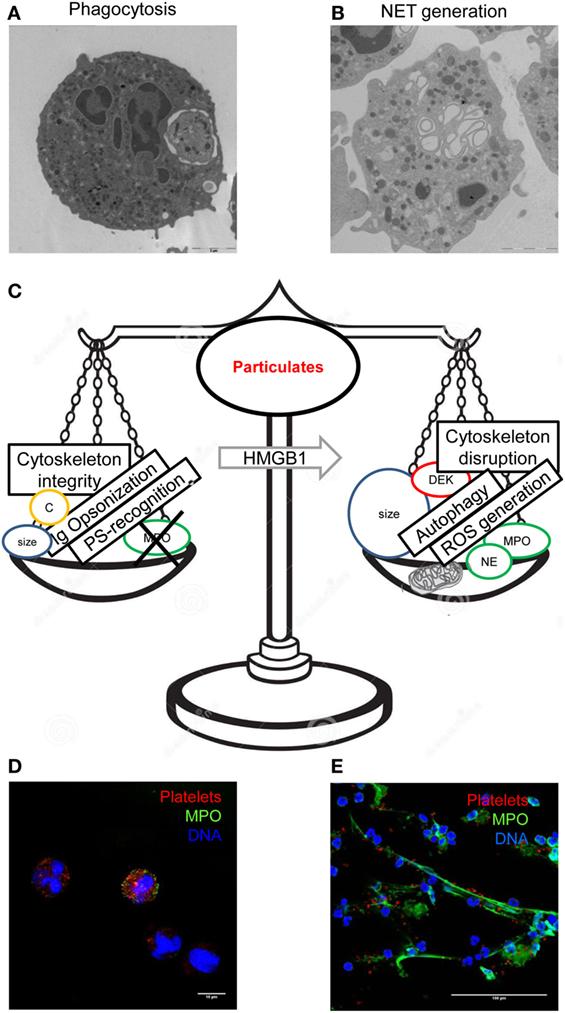 Frontiers   The Neutrophil's Choice: Phagocytose vs Make