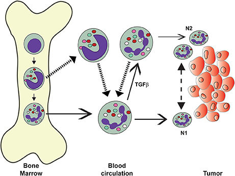 Frontiers | Neutrophil: A Cell with Many Roles in