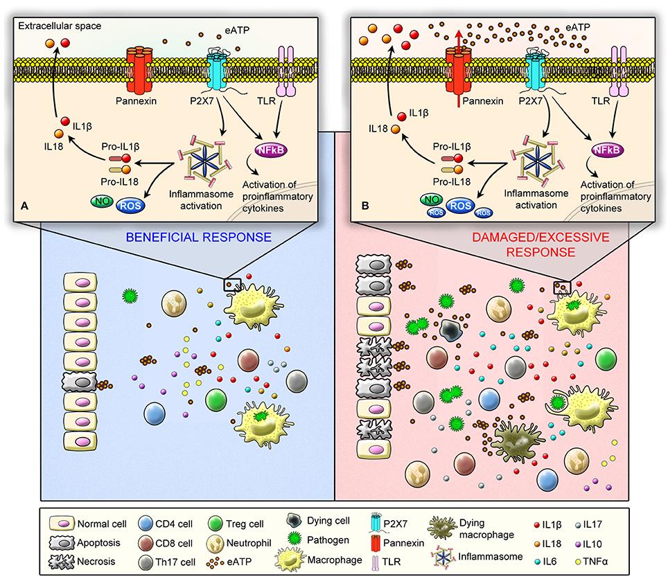 Frontiers | The P2X7 Receptor in Inflammatory Diseases