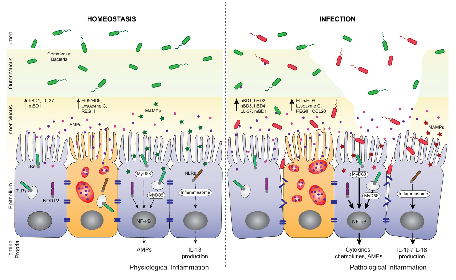 Frontiers Intestinal Antimicrobial Peptides During