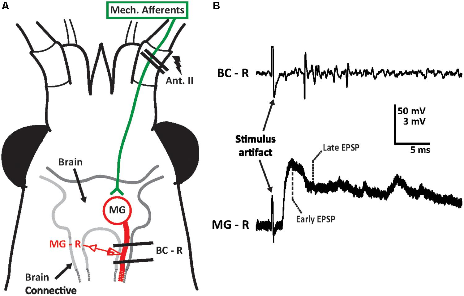 Frontiers | Effects of Ethanol on Sensory Inputs to the Medial Giant