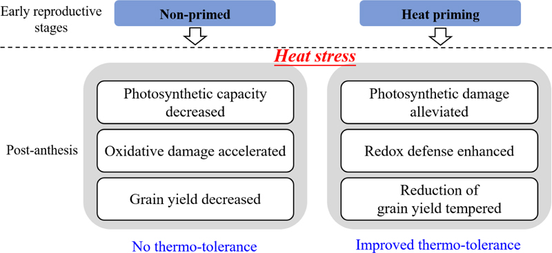 Frontiers | Heat Priming During Early Reproductive Stages