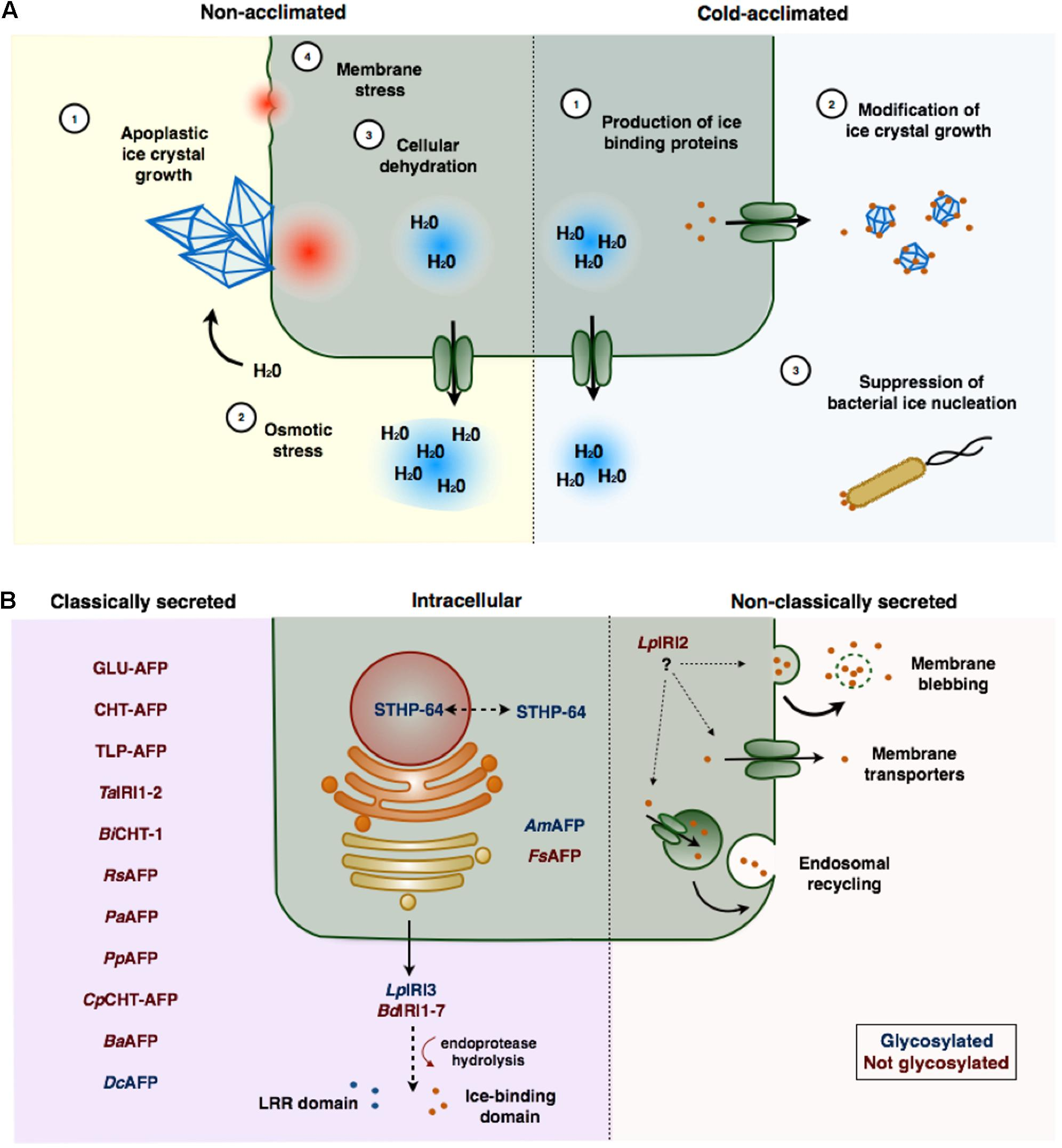 Ice-Binding Proteins In Plants