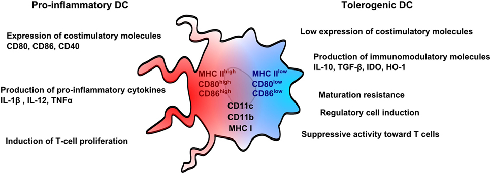 Frontiers | Tolerogenic Dendritic Cells in Solid Organ