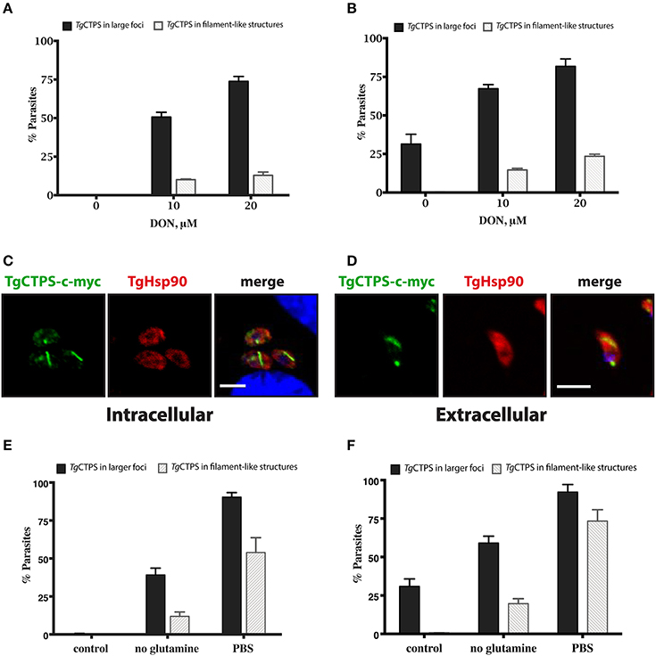 Frontiers | A CTP Synthase Undergoing Stage-Specific Spatial