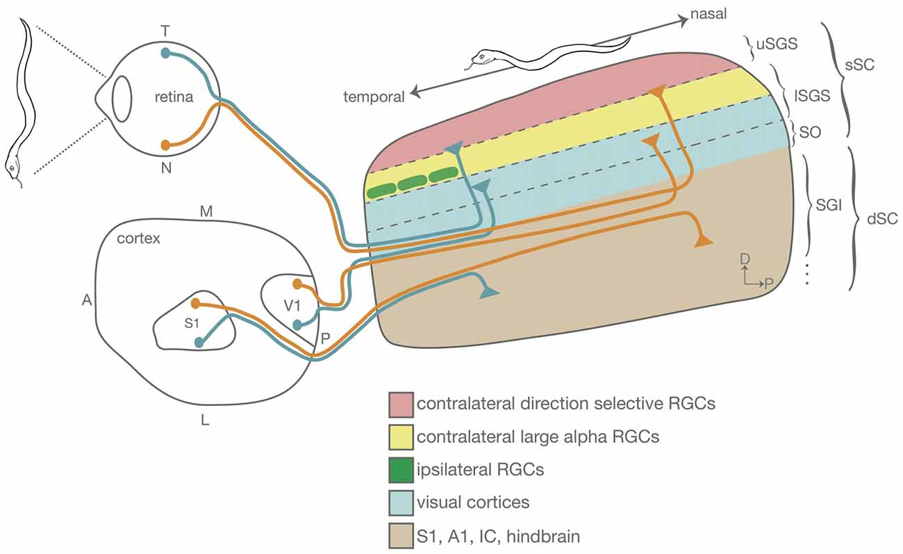 Frontiers | The Mouse Superior Colliculus: An Emerging Model for