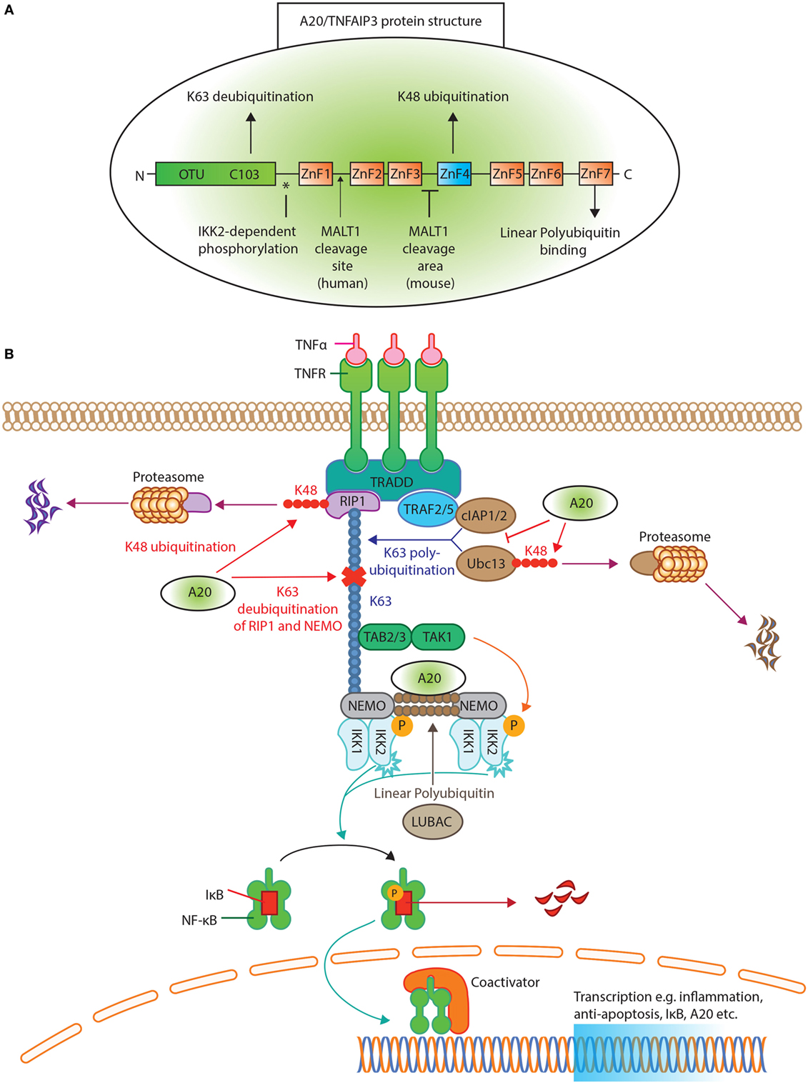 Frontiers | A20/Tumor Necrosis...