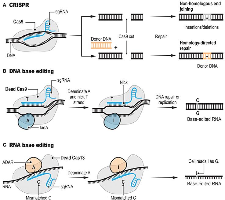 Image result for crispr cas9 vs cas13
