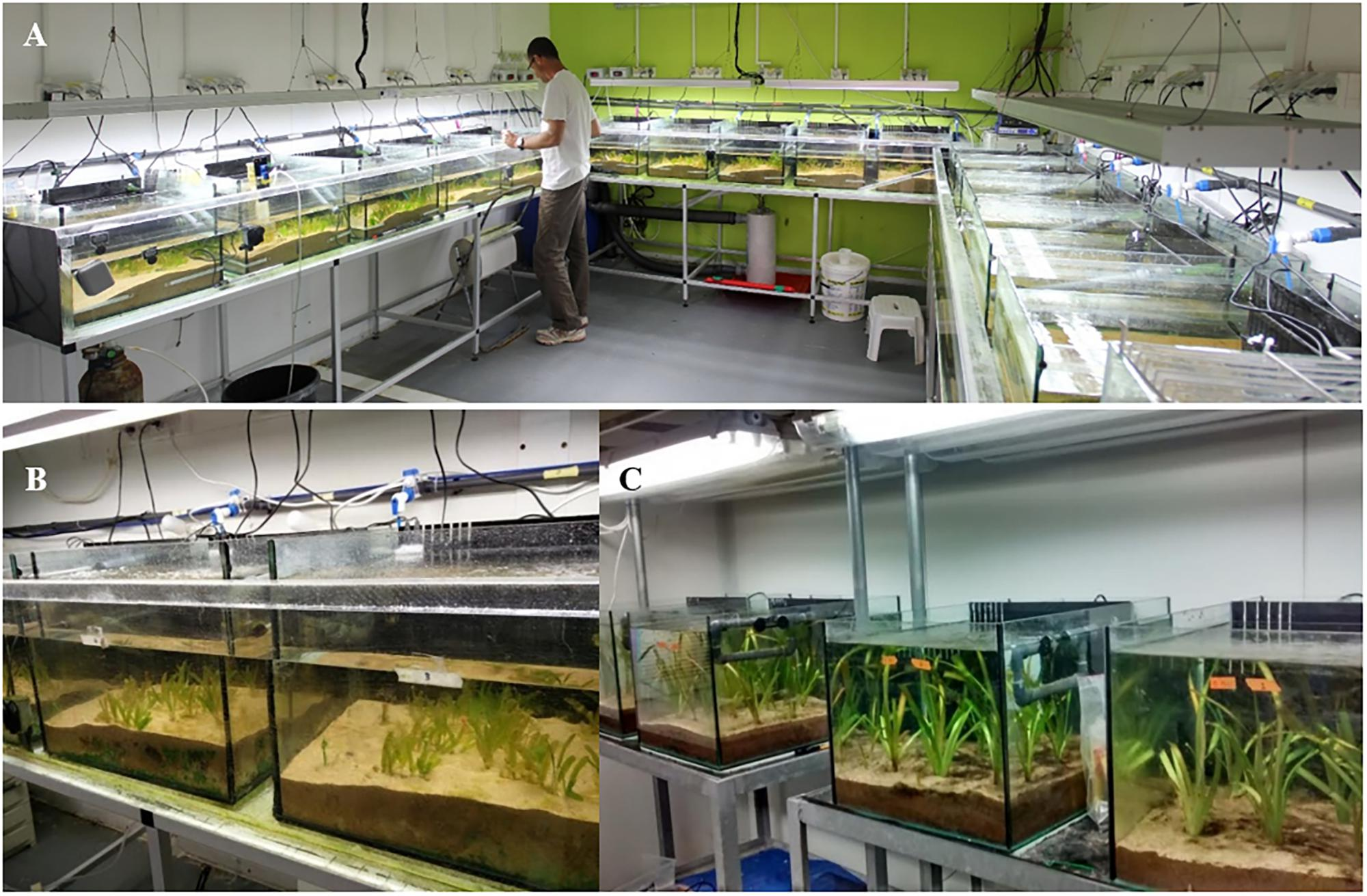 Frontiers | The Tropical Invasive Seagrass, Halophila
