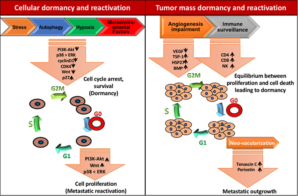 Frontiers | The Biology and Therapeutic Implications of Tumor