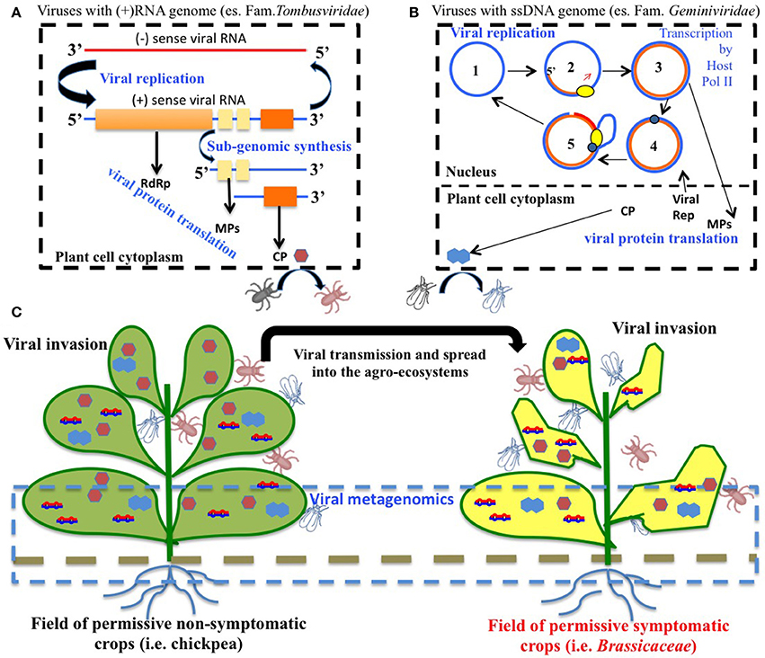 Frontiers Viruses And Phytoparasitic Nematodes Of Cicer Arietinum