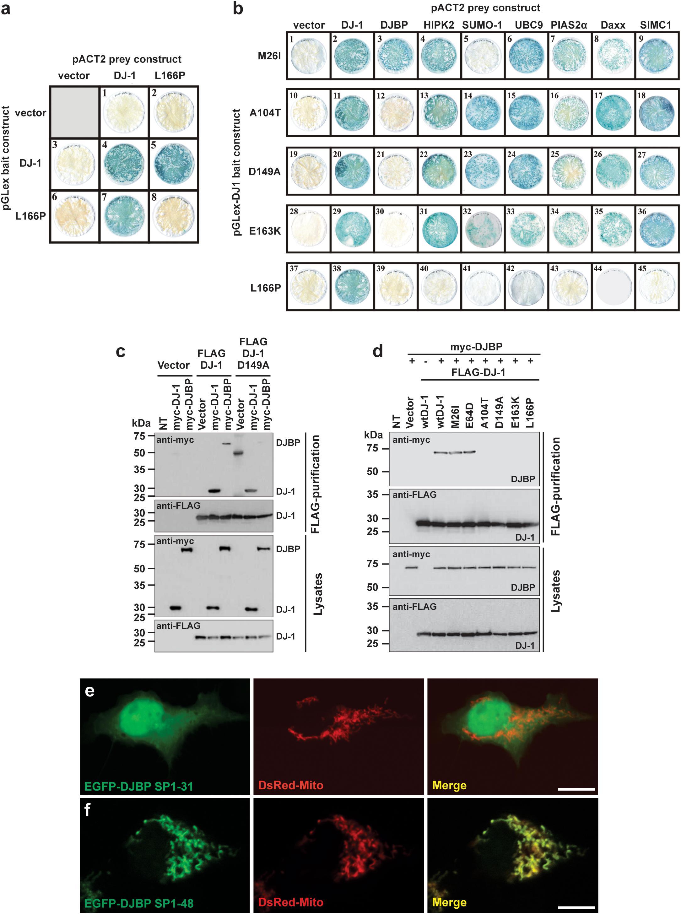 Frontiers | Distinct Mechanisms of Pathogenic DJ-1 Mutations