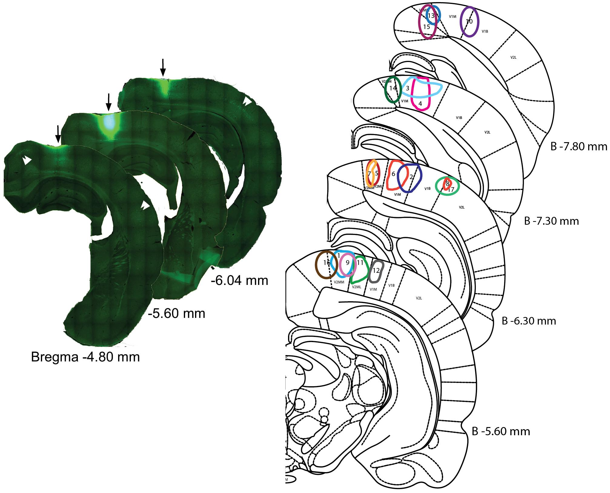 Frontiers   Topographic Organization of Cholinergic Innervation From