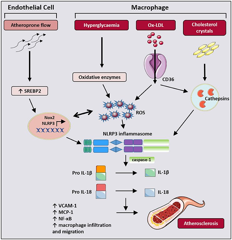 Frontiers | Oxidative Stress and NLRP3-Inflammasome Activity