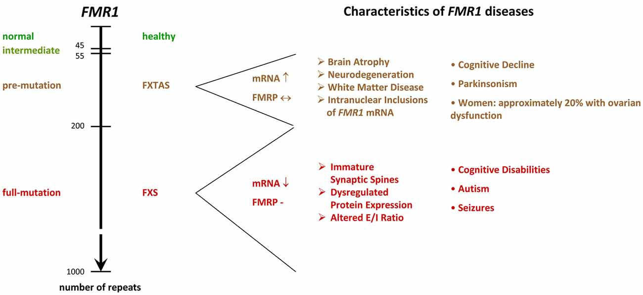 Frontiers | Of Men and Mice: Modeling the Fragile X Syndrome