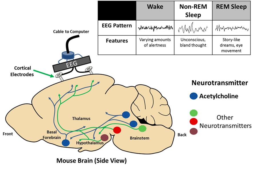 Figure 1 - Sleep can be measured using the electroencephalogram (EEG) to study an animal's brain.