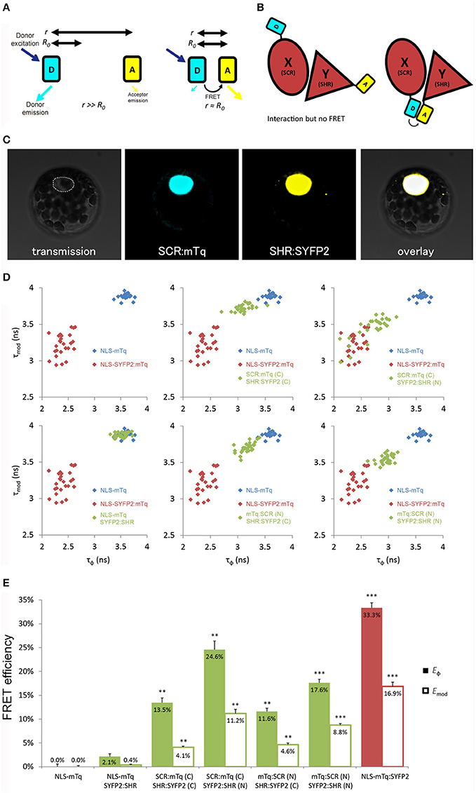 Frontiers | Optimizing FRET-FLIM Labeling Conditions to ... on