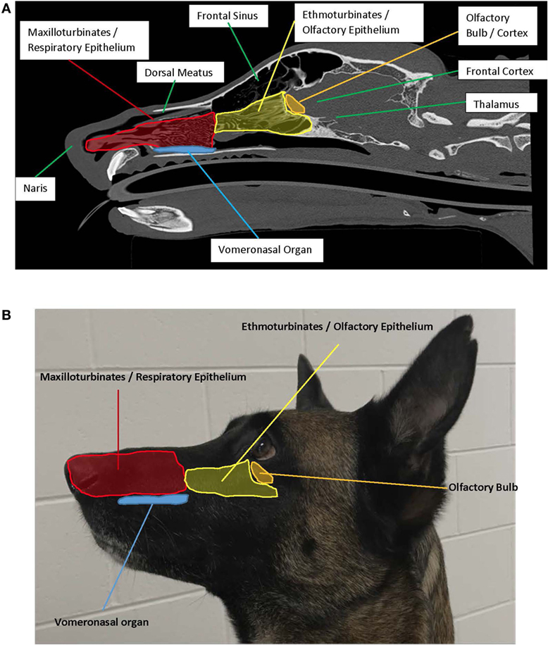 Navigator Neurons Play Critical Role In Sense Of Smell >> Frontiers When The Nose Doesn T Know Canine Olfactory