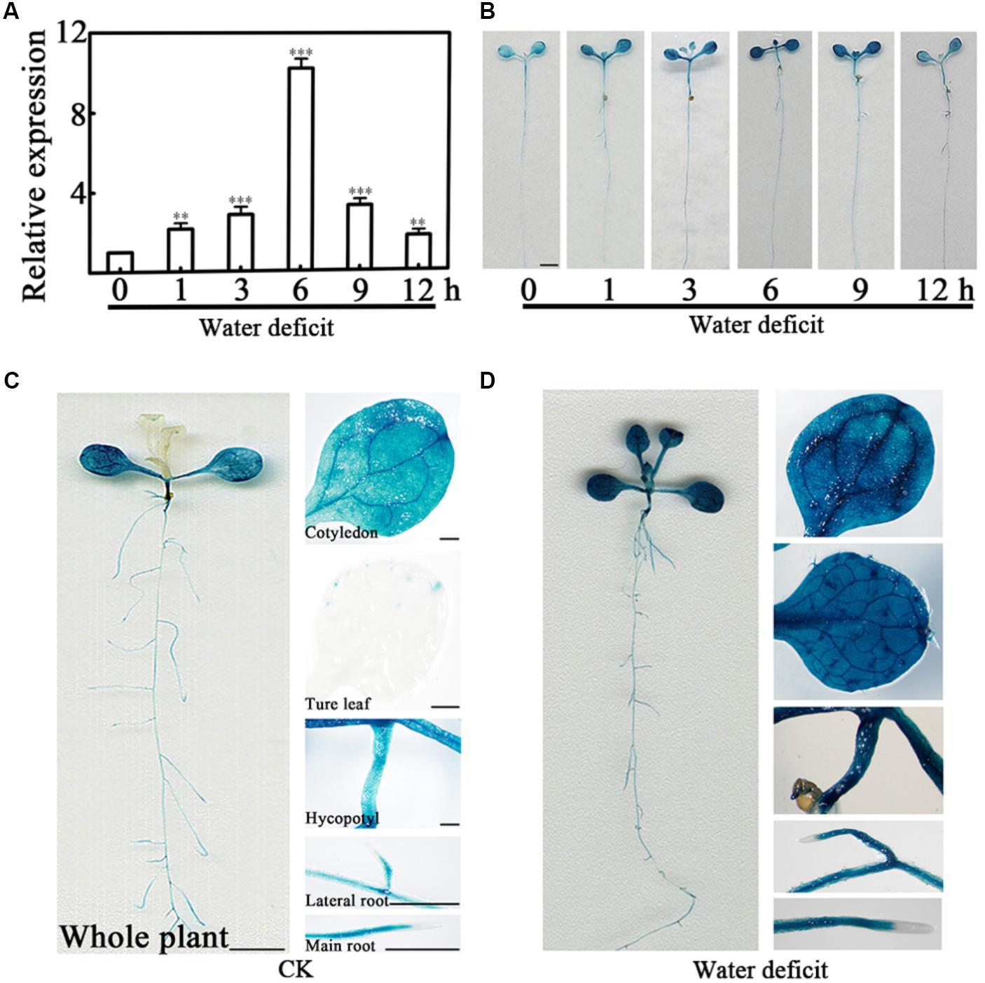 Frontiers | Arabidopsis PCaP2 Functions as a Linker Between