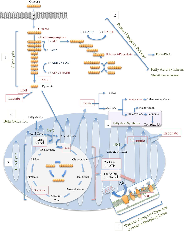 Frontiers | Metabolic Modulation in Macrophage Effector Function
