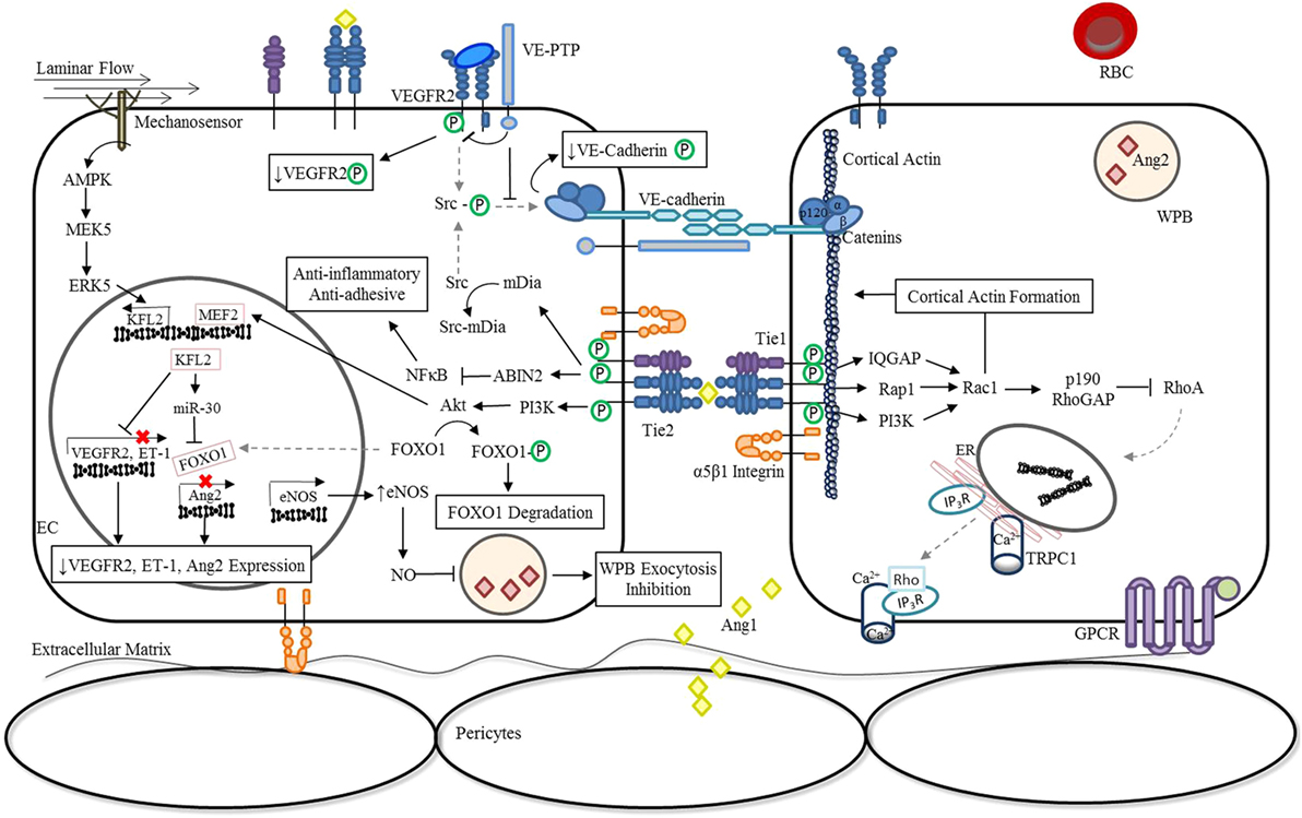 Frontiers | Endothelial Activation: The Ang/Tie Axis in ... on