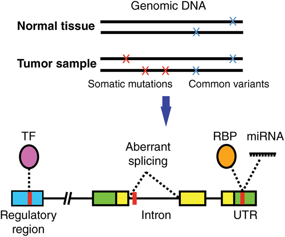 Noncoding Mutations Contribute To >> Frontiers Identification Of Single Nucleotide Non Coding Driver