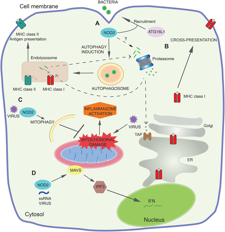 Frontiers   Emerging Mechanisms of Innate Immunity and Their ... on