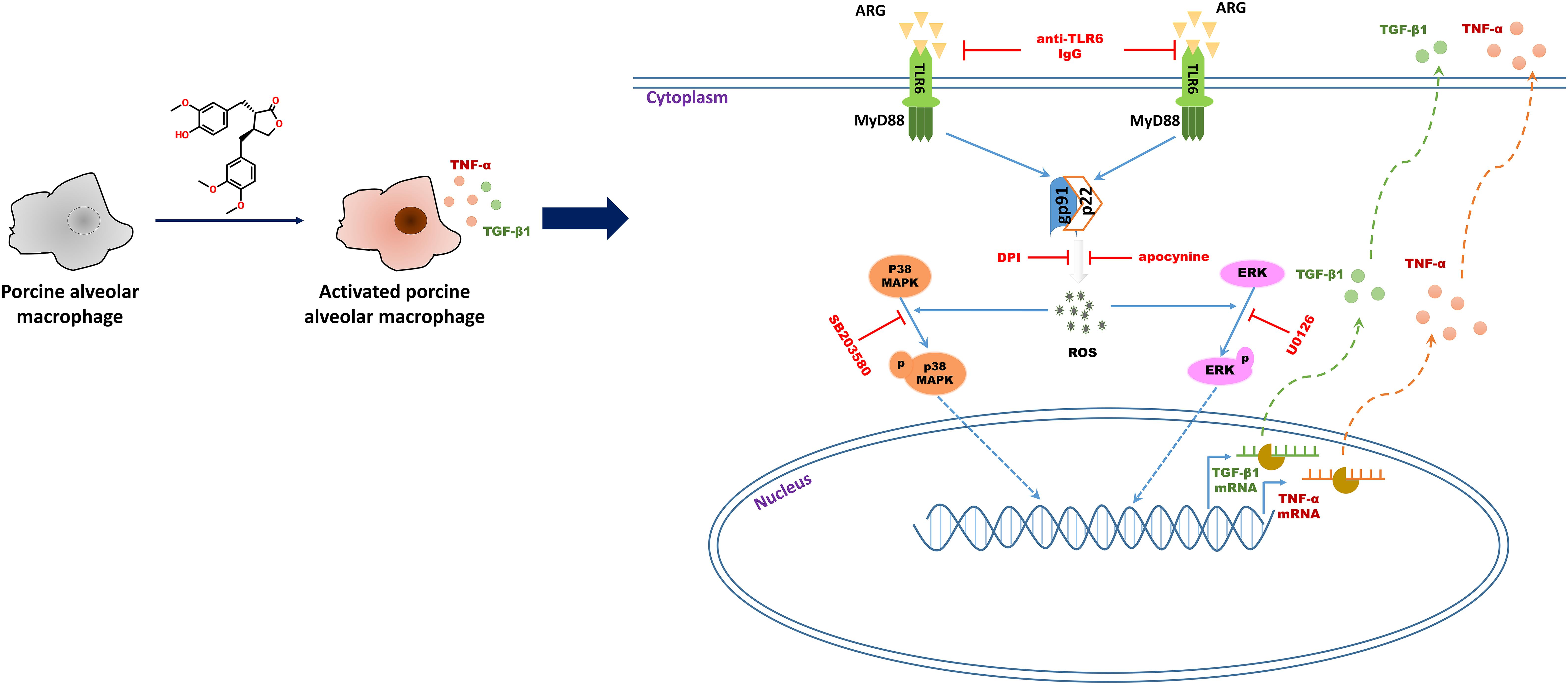 Frontiers | Arctigenin Induces an Activation Response in