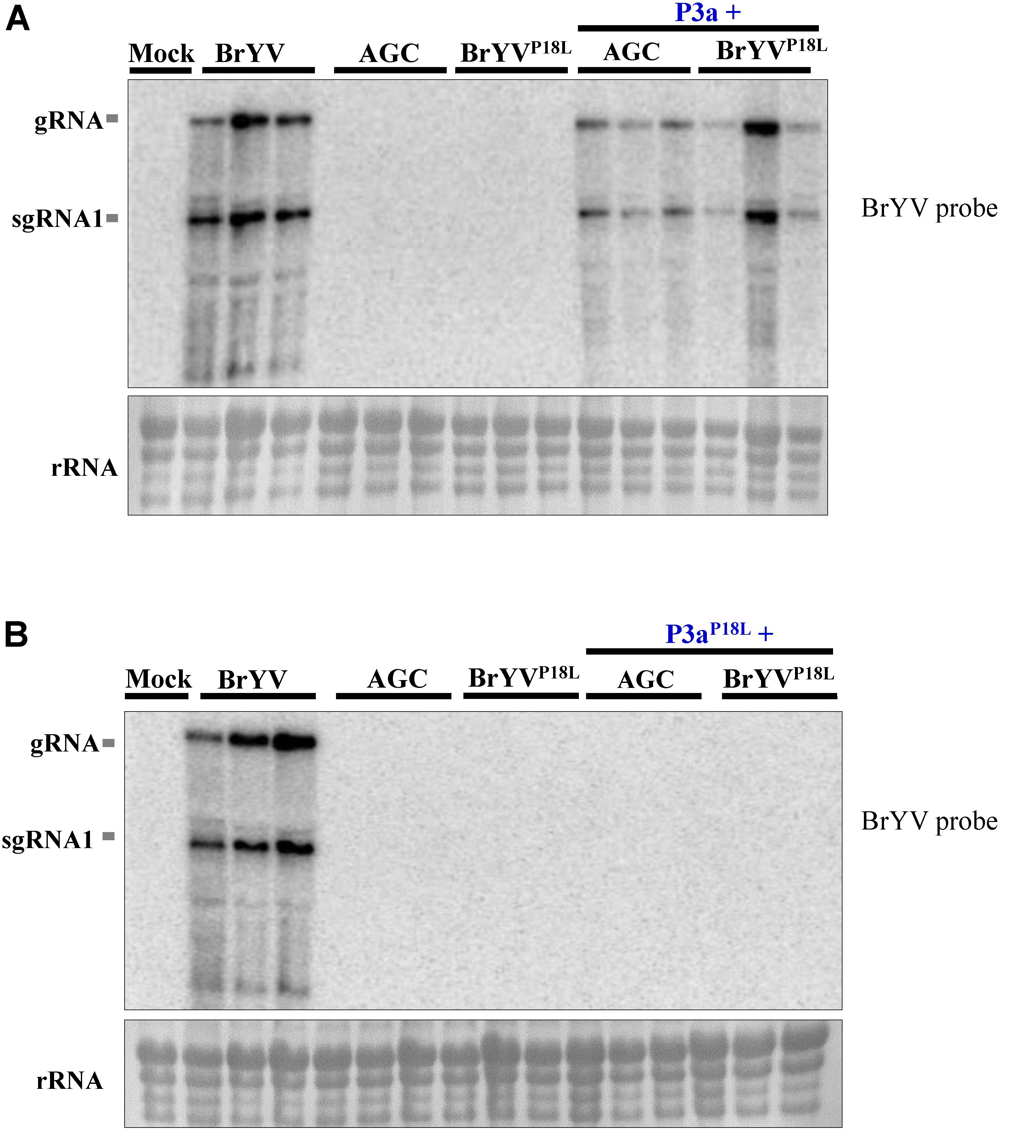 Frontiers | The Conserved Proline18 in the Polerovirus P3a