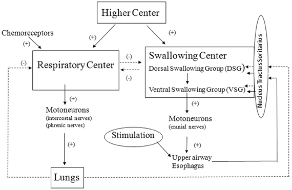 Frontiers The Swallowing Reflex And Its Significance As An Airway