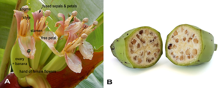 Figure 3 - (A) A hand of female banana flowers, each with five fused sepals and petals, and one petal that remains unfused.