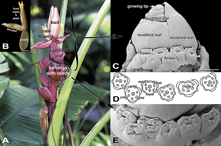 Figure 4 - (A) A flower cluster of the hairy banana with hands of female flowers below hands of male flowers.