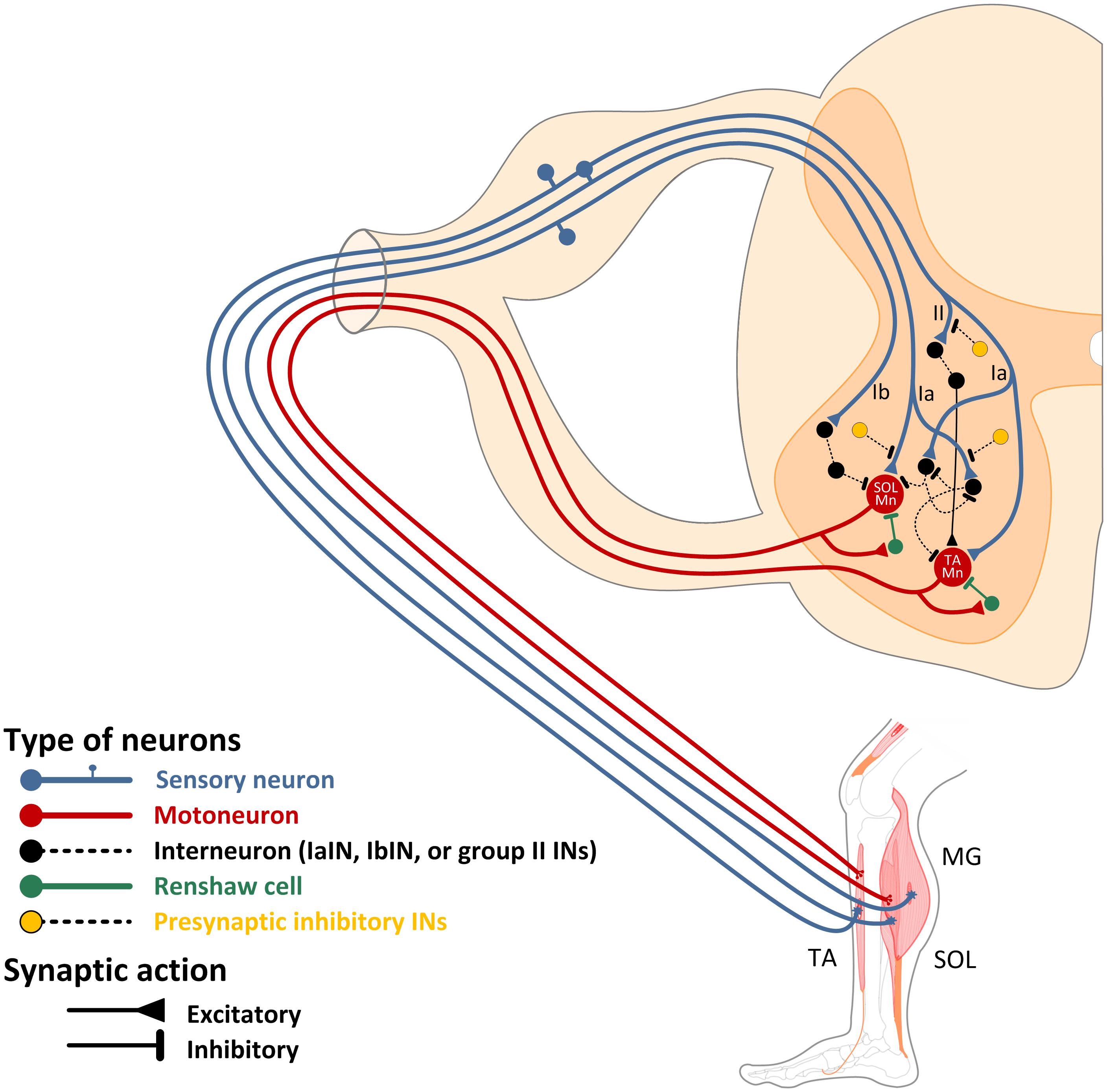 Frontiers Spinal Control Of Locomotion Individual Neurons Their Emg Hb Wiring Diagram