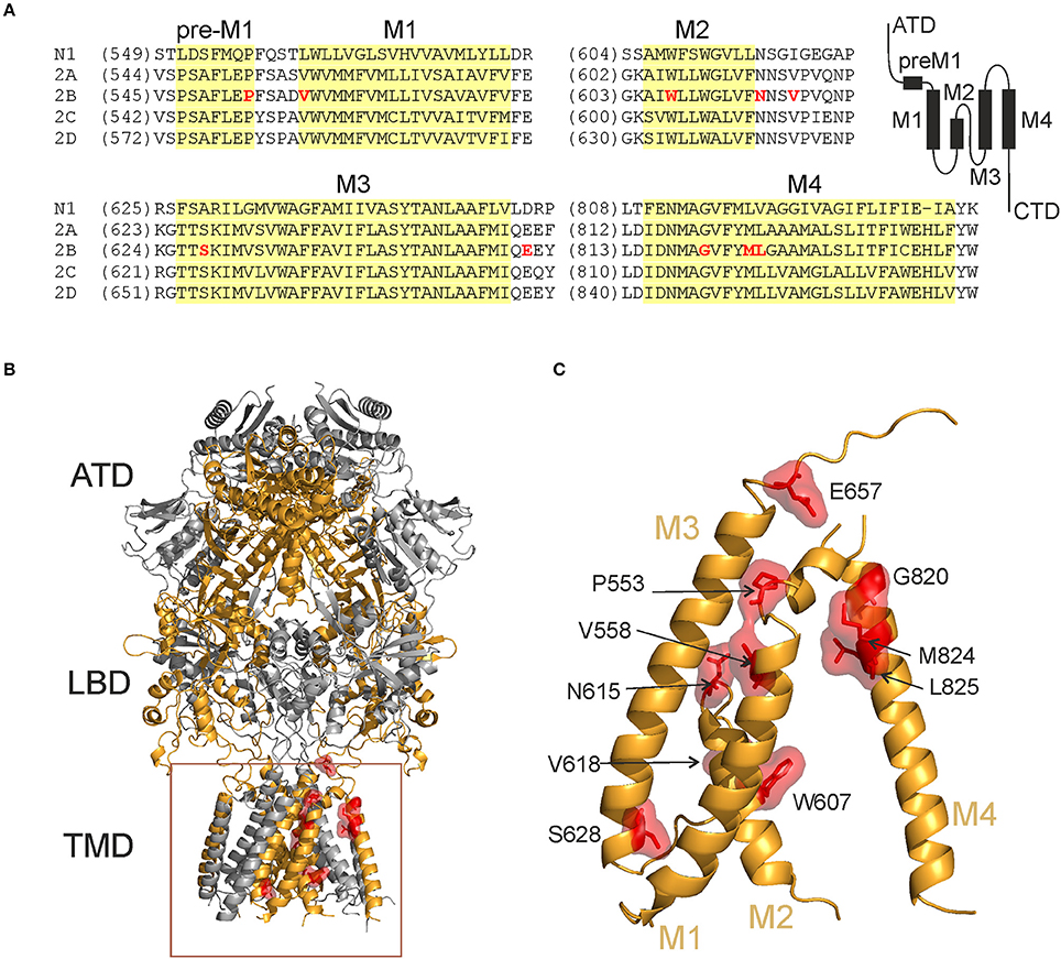 Frontiers Surface Expression Function And Pharmacology Of Disease Associated Mutations In The Membrane Domain Of