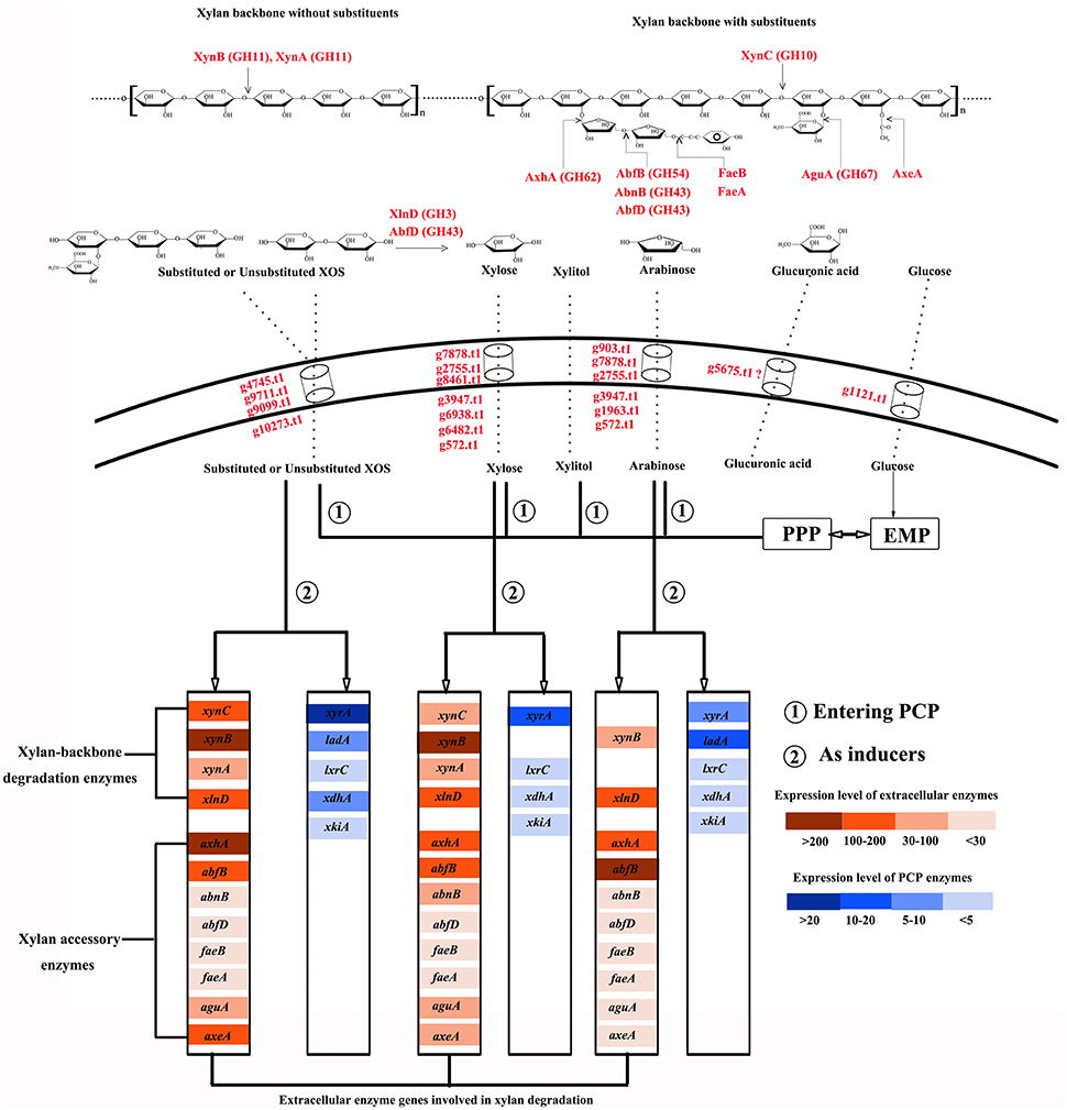 Frontiers   A Highly Efficient Xylan-Utilization System in