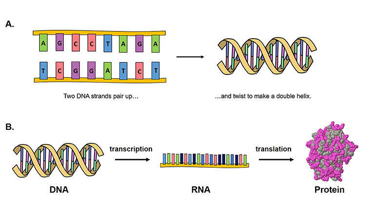 Figure 1 - DNA structure and how proteins are made from DNA.