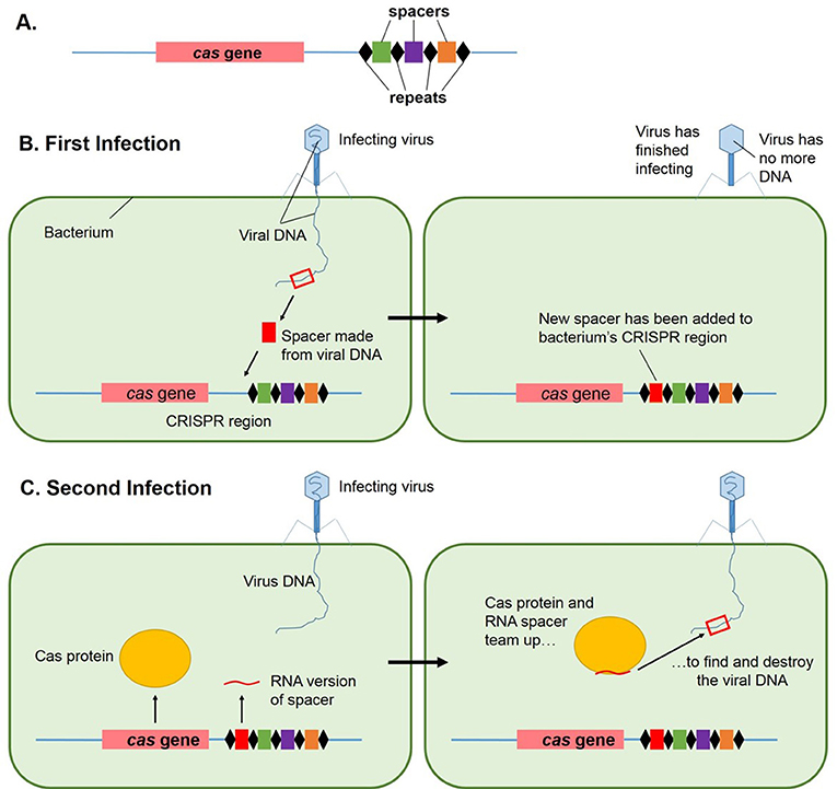 Figure 3 - What is CRISPR and how does it work?