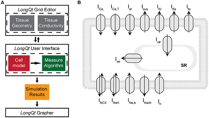 Frontiers | Synchronization of Pacemaking in the Sinoatrial