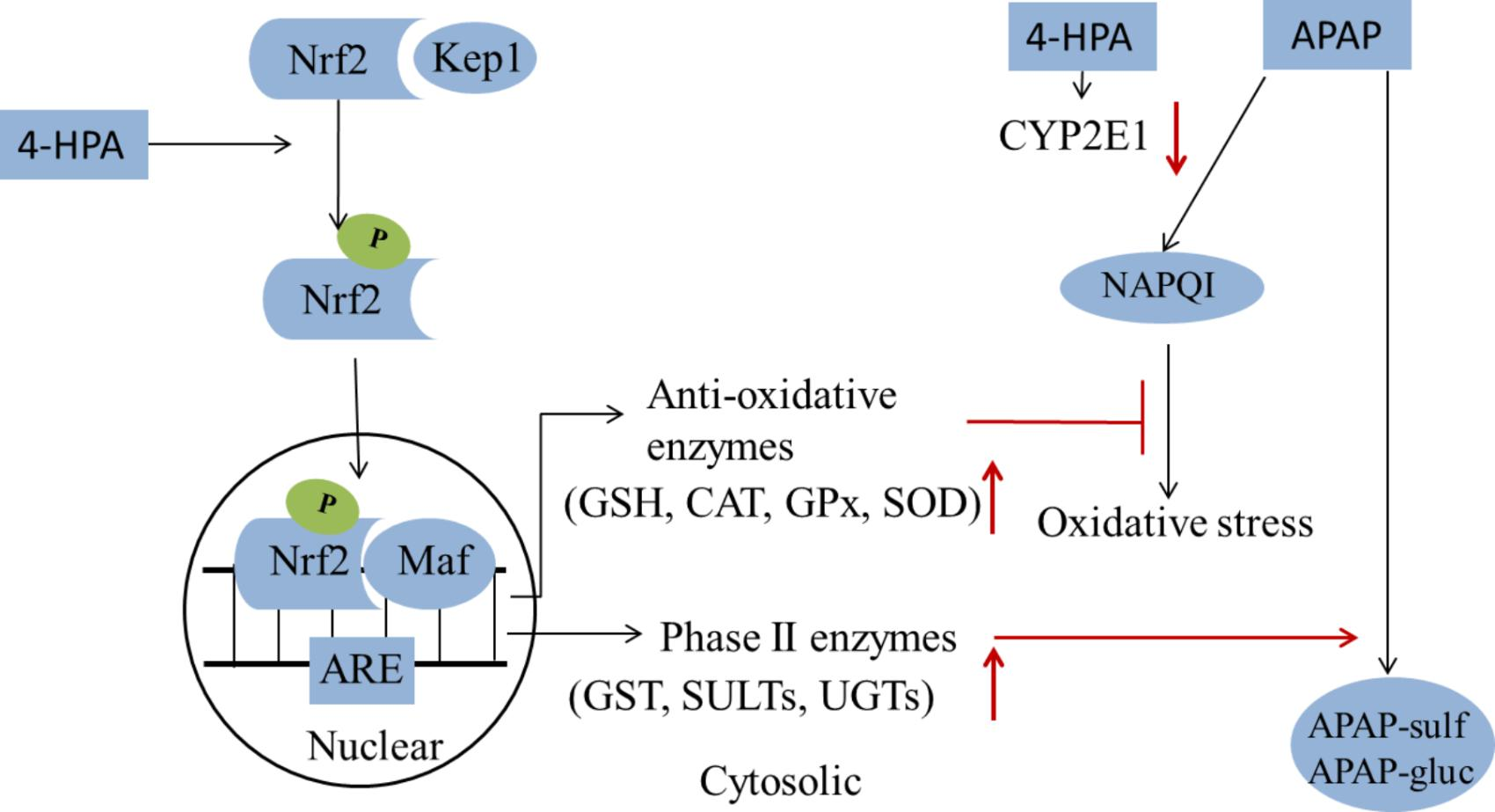 antioxidant enzymes thesis A thesis entitled the role of antioxidant enzymes in the induction of phagocytic activation by dichloroacetate and trichloroacetate mixtures in mice.