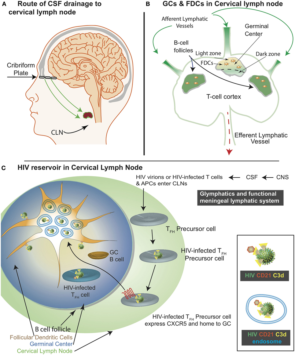 Frontiers Follicular Dendritic Cells Of Lymph Nodes As Human