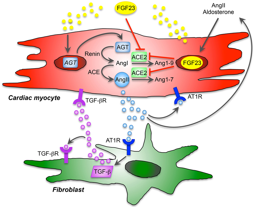 frontiers paracrine effects of fgf23 on the heart endocrinology
