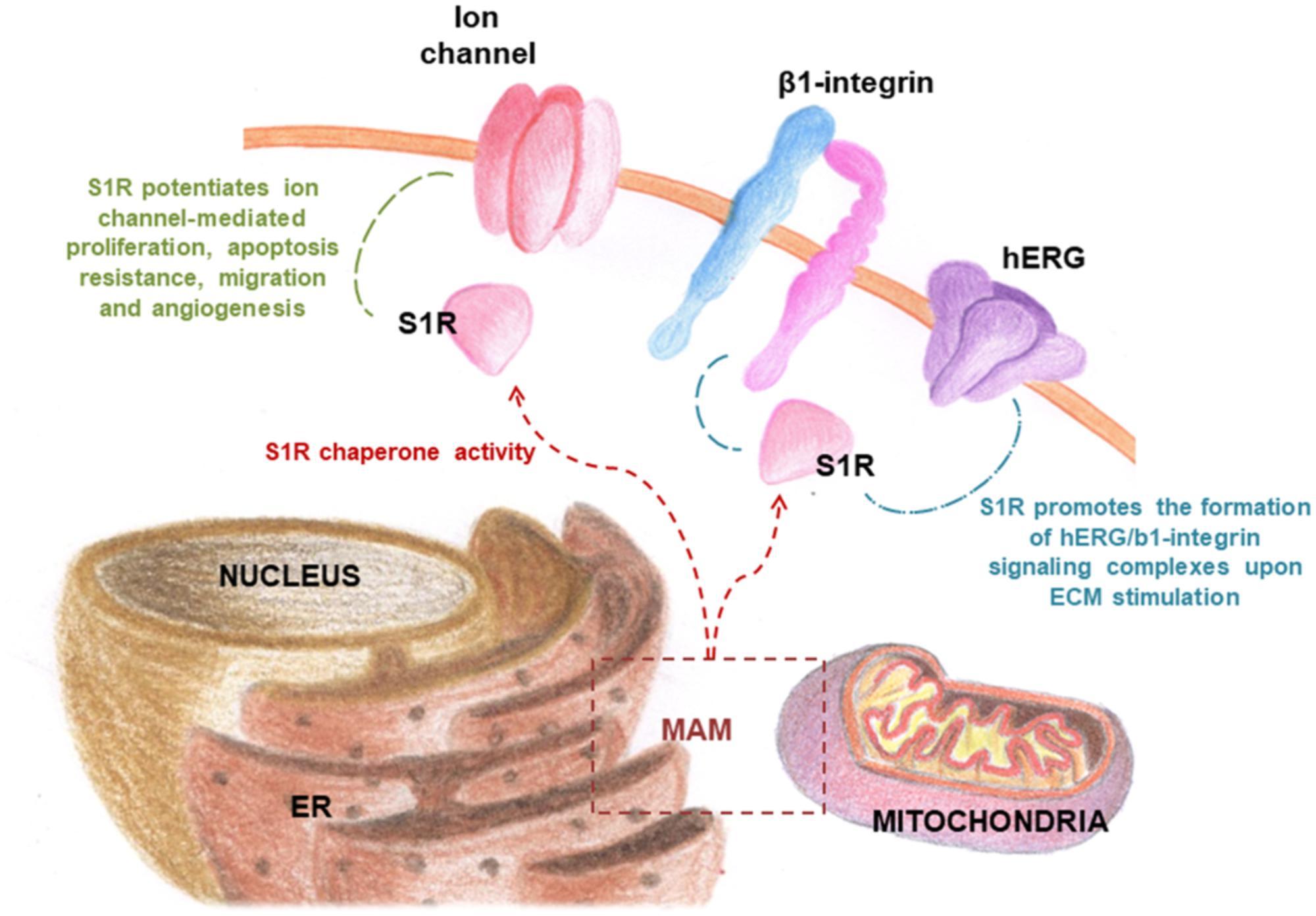 Frontiers | Sigma Receptors as Endoplasmic Reticulum Stress