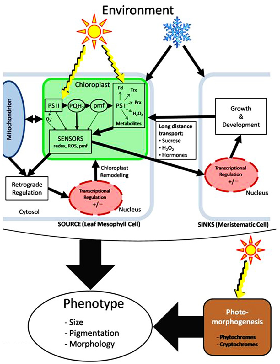 Frontiers chloroplast redox imbalance governs phenotypic frontiersin pooptronica Choice Image