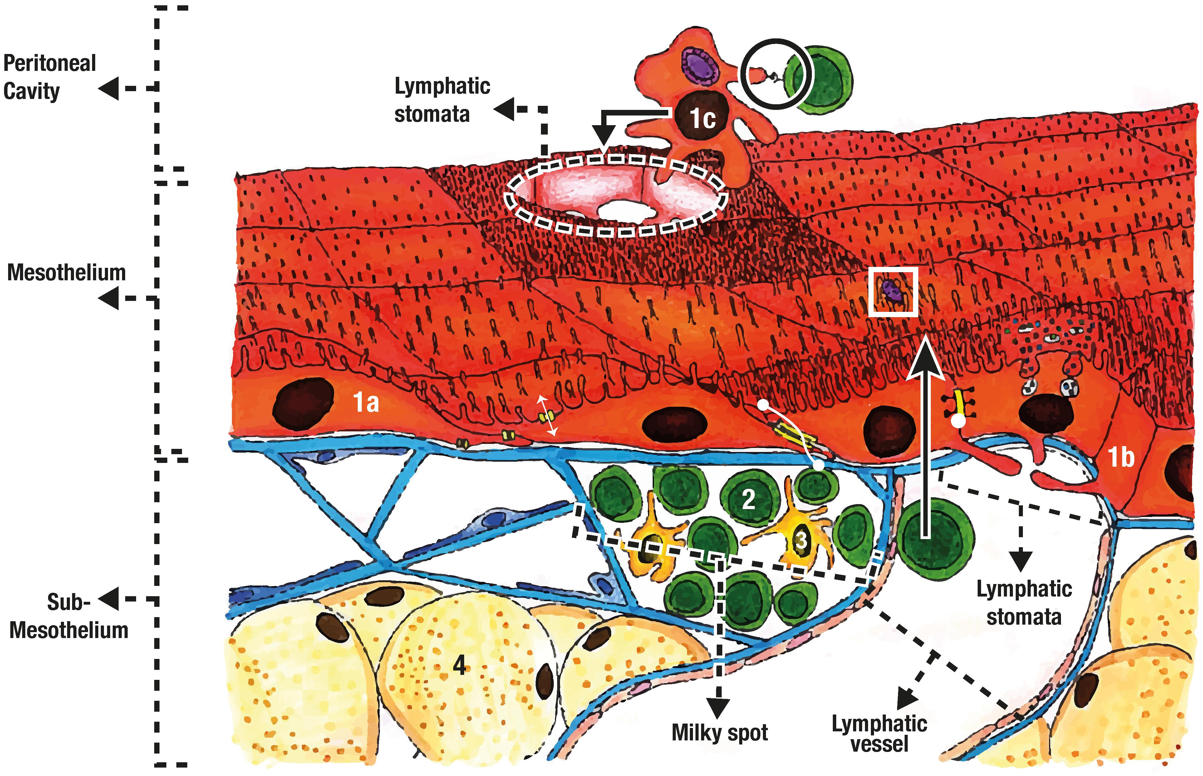 Frontiers | The Peritoneum: Beyond the Tissue – A Review | Physiology
