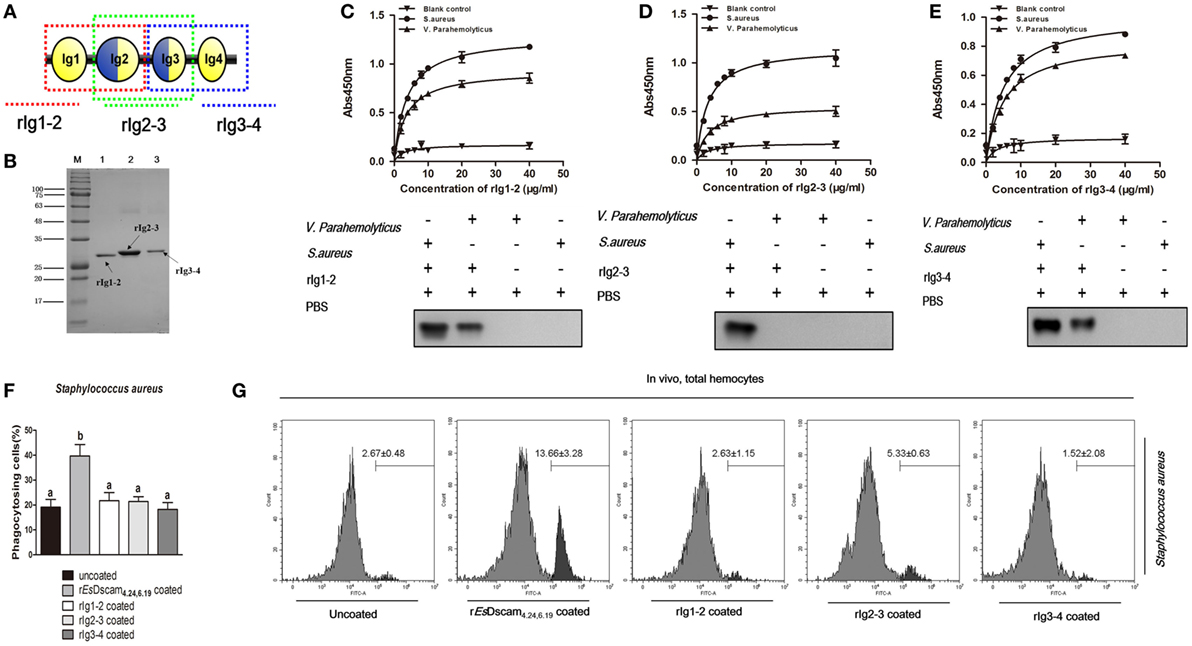 Frontiers | Pathogen-Specific Binding Soluble Down Syndrome Cell