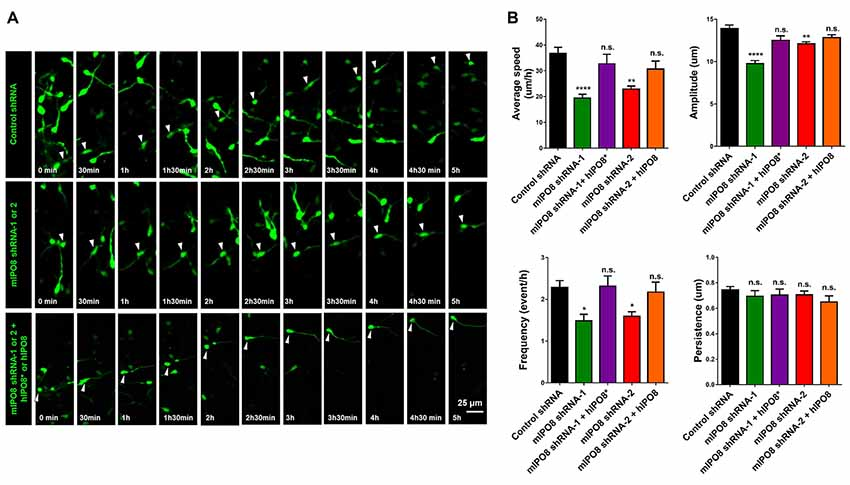 Frontiers | Importin-8 Modulates Division of Apical Progenitors