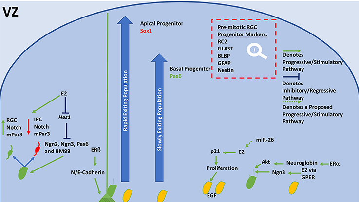 Frontiers | Estradiol and the Development of the Cerebral